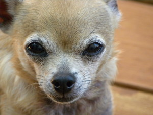 BC Chihuahua Rescue – Providing assistance wherever there is