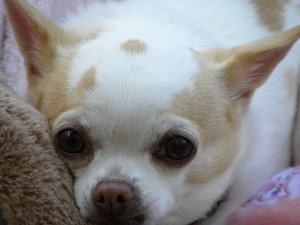 BC Chihuahua Rescue – Providing assistance wherever there is a